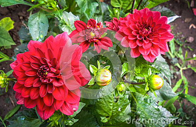 Red dahlia and buds