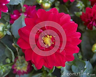 Red dahlia closeup