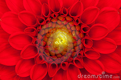Red Dahlia flower close up