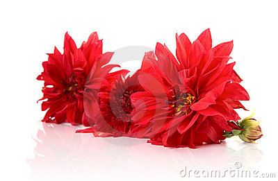 Red dahlias  with reflexion