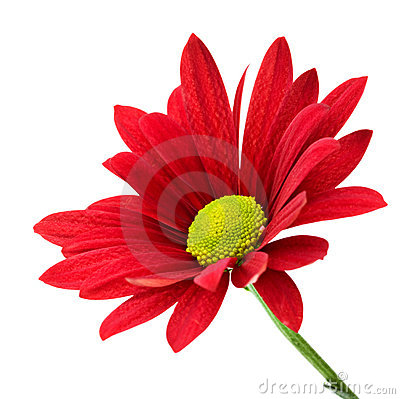 Free Red Daisy Stock Photography - 10093582