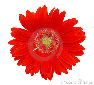 Free Red Daisy Flower Stock Image - 1778301