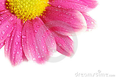 Red daisy isolated with copyspace [clipping path]