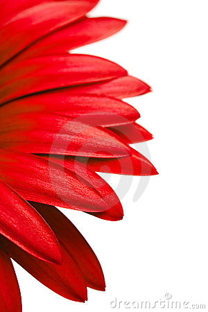 Red daisy petals isolated on white