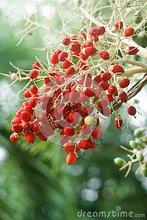 Red date tree fruit