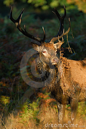 Red dear stag in full rut