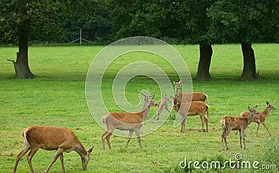 Red deer alert!