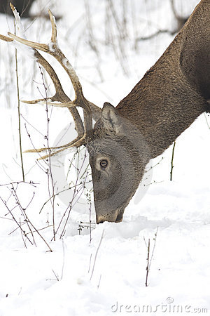 Red deer / Cervus elaphus