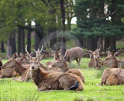 Red Deer (Cervus Elaphus) Herd