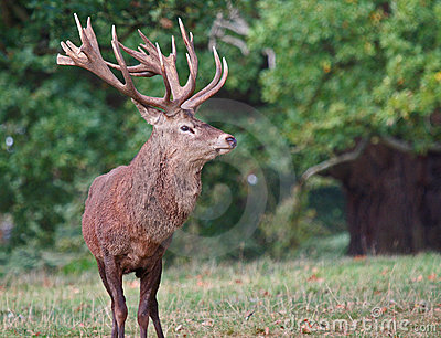 Red deer (Cervus elaphus) stag in Autumn.
