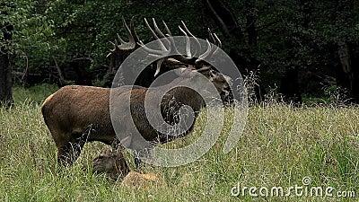Red Deer, cervus elaphus, Stag Roaring during the Rutting season, Sweden,. Real Time stock video footage