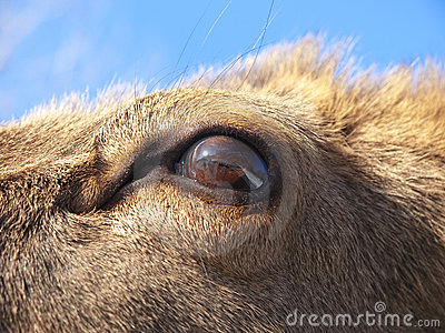 Red Deer eye detail