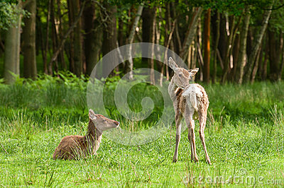 Red deer fawns