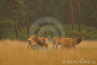 Red Deer in golden light