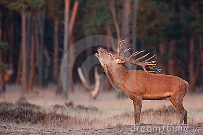 Red Deer grunt Stock Photo