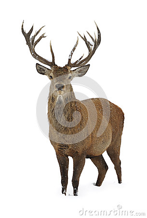 Free Red Deer In Snow Royalty Free Stock Images - 34979799
