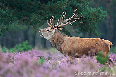 Red deer during mating season