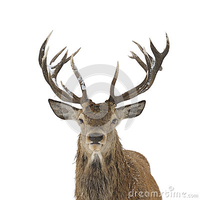 Free Red Deer Portrait Stock Images - 35250144