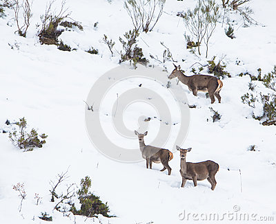 Red Deer in the snow