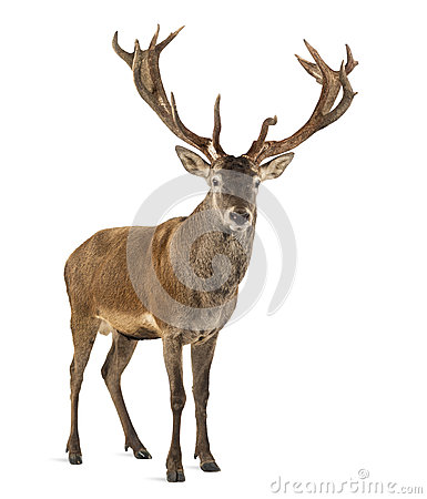 Free Red Deer Stag Royalty Free Stock Photos - 60160348