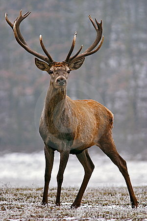 Red Deer Stag Royalty Free Stock Image - Image: 8552926