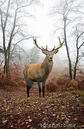 Free Red Deer Stag In Foggy Autumn Forest Landscape Stock Image - 23703901