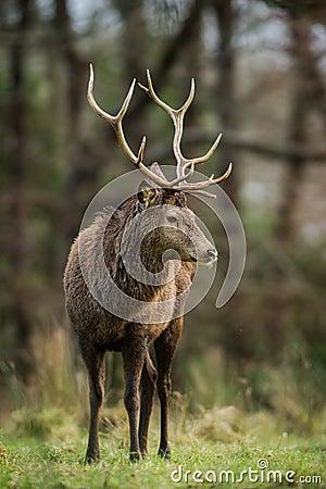 Free Red Deer Stag Looking Sideways Royalty Free Stock Images - 65929999