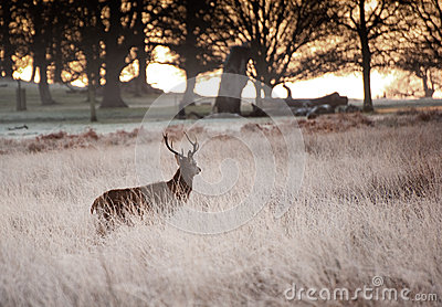 Red deer stag looks into rising sun