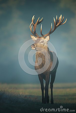 Free Red Deer Stag On A Misty Autumn Morning Stock Images - 145301654
