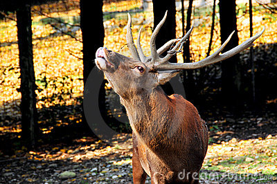 A Red deer stag in rut