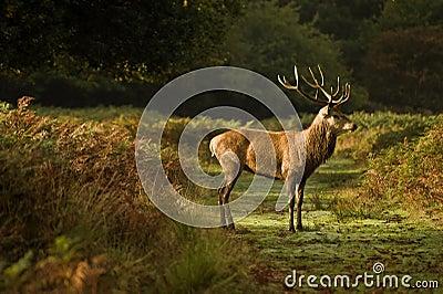 Red deer stag during rut season