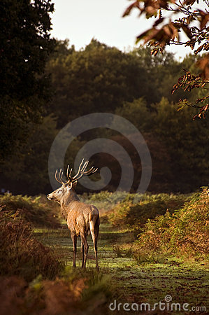 Red deer stag during rut season