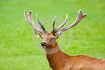 Red deer stag in velvet