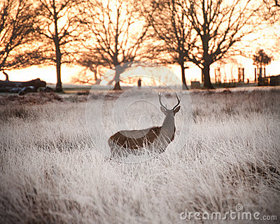 Red deer stag watches Winter sunrise
