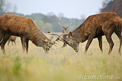 Red deer stags jousting with antlers