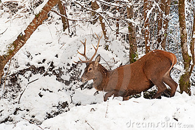 Red Deer in the  winter forest