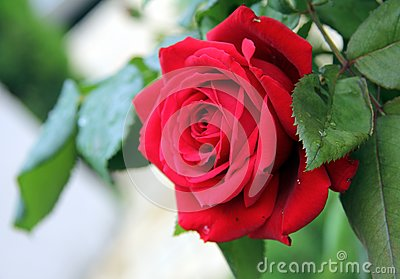Red delicate rose