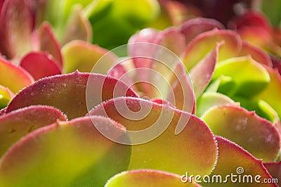 Red Desert Plant
