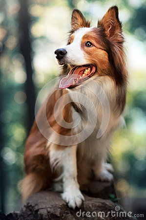 Free Red Dog Border Collie In Sunlight Royalty Free Stock Images - 52014169