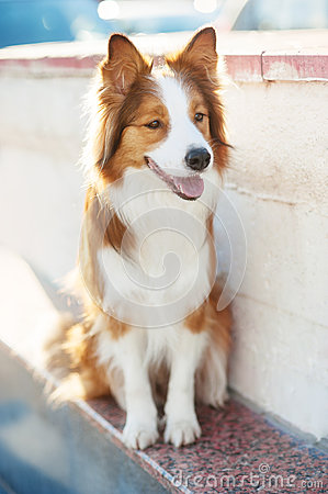 Free Red Dog Border Collie In Sunlight Stock Images - 52014184