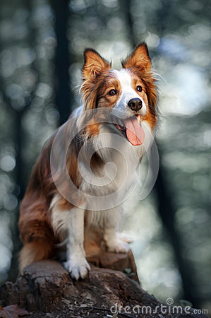 Free Red Dog Border Collie In Sunlight Stock Images - 52014234
