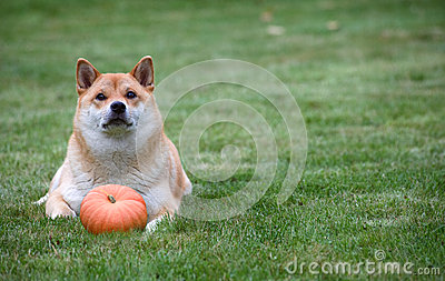 Red dog with pumpkin