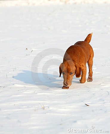 Red Dog on snow