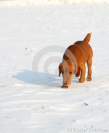 Red Dog on snow