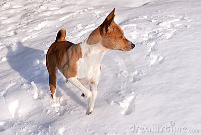 Red dog in white snow
