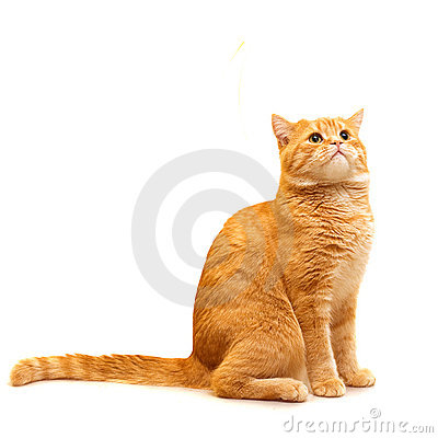 Red domestic cat looking up