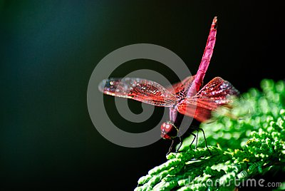 Red Dragon fly with raised tail