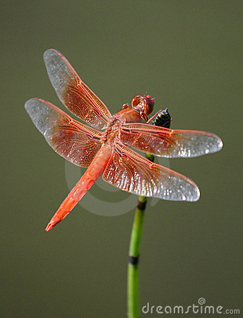 Free Red Dragonfly Stock Photo - 254090