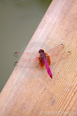 Free Red Dragonfly Royalty Free Stock Photo - 3391385