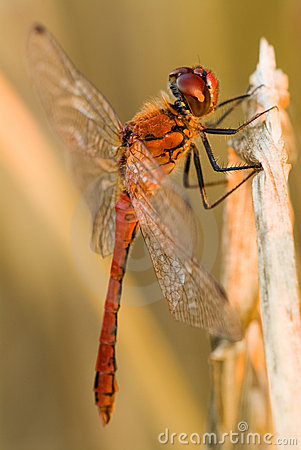 Free Red Dragonfly Royalty Free Stock Photography - 3811737